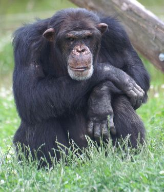 Male Western Chimpanzee