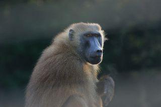 A baboon.