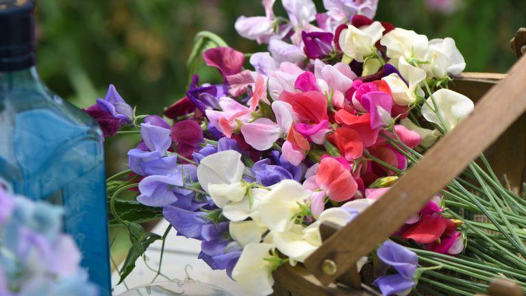 how to grow sweet peas: bundle of flowers in trug