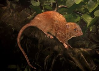 A new rat species, now called <em>Uromys vika</em>, was discovered in the Solomon Islands.