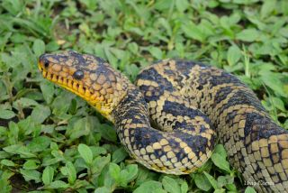 World's Rarest Boa Snake Seen for 1st Time in 64 Years