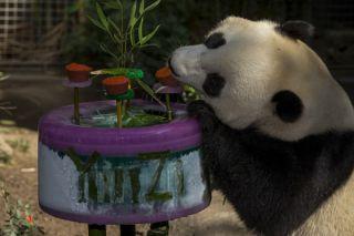 giant pandas, endangered species