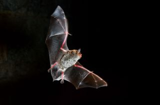 Daubenton's bat (Myotis daubentonii) in flight and hunting at night.