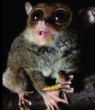 Philippine tarsier eating grub.