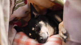 pooch lying in a dog fan den
