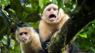 two white-faced capuchin monkeys in a tree