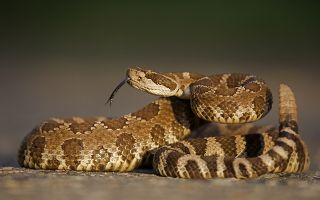 What Should You Do If You're Bitten by a Venomous Snake