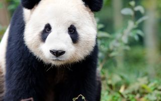 Curious giant panda stares at the camera.