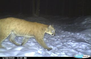 Connecticut cougar