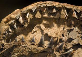 Fossil shark teeth in jaw
