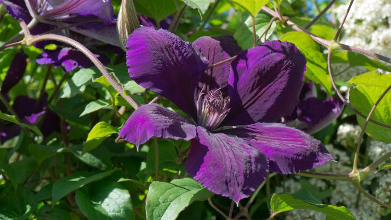Monty Don clematis pruning tips: Clematis 'Gypsy Queen'