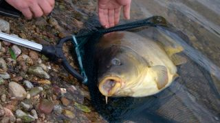 How to catch carp - a big carp about to be returned
