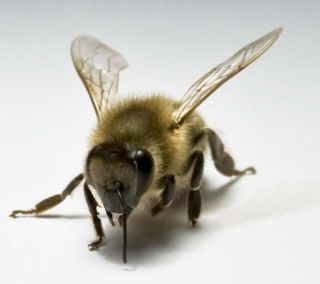 a honeybee used in research finding the bees use their right antennas when interacting socially