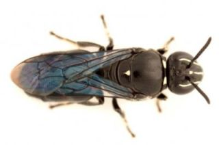 The recently rediscovered species of Australian masked bee