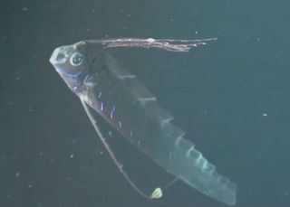 This oarfish was caught on camera by an ROV in the Gulf of Mexico in August, 2011. They can grow up to at least 26 feet long.