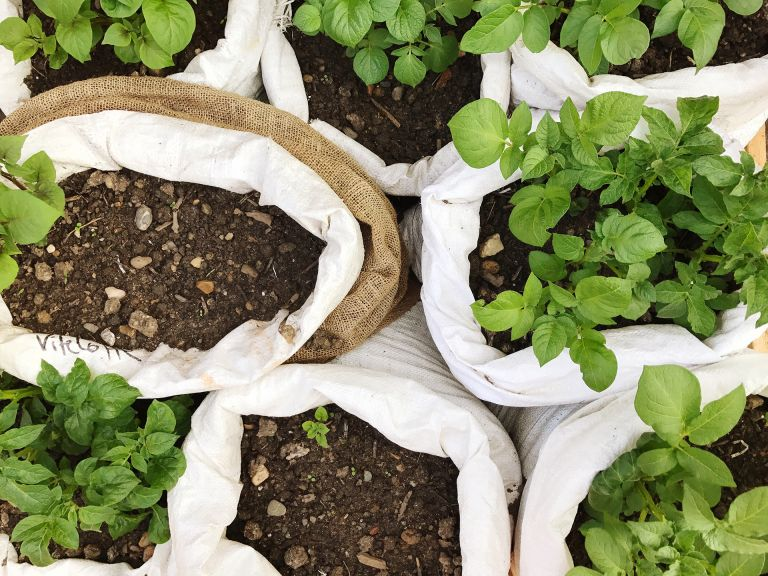 how to grow potatoes in a bag multiple potato plants growing in bags