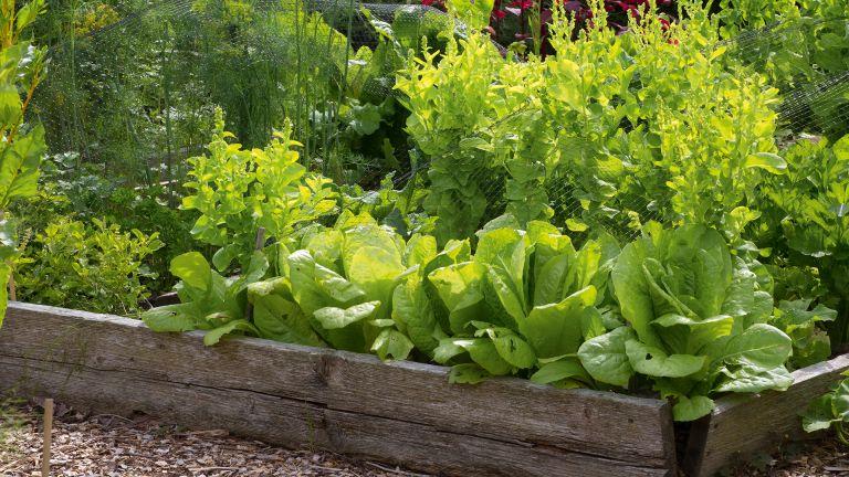 Growing lettuce in raised bed