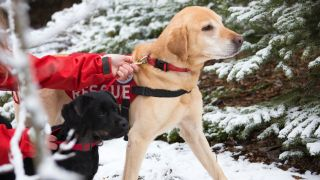 Best tracking dogs: Two Labradors on a search and rescue mission in the snow