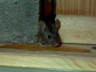 mice, rats, European house mouse, Algerian mouse, hybridization, animals, mutations, mutant mouse, poison resistance,