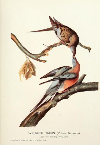 Passenger pigeon painting by naturalist and artist John James Audubon