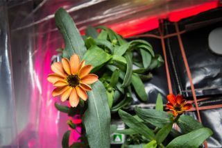 Zinnia in space saved from mold