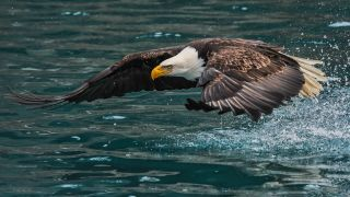In a separate incident from the one described here, a loon launches out of the water to scare off a bald eagle.