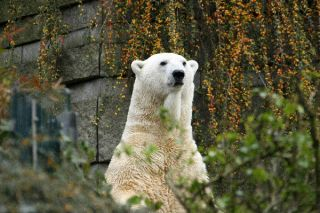 Lars, a polar bear in Germany's Wuppertal Zoo, caught a deadly, zebra-derived virus, but survived.