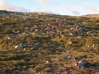 reindeer-herd-dead-lightning