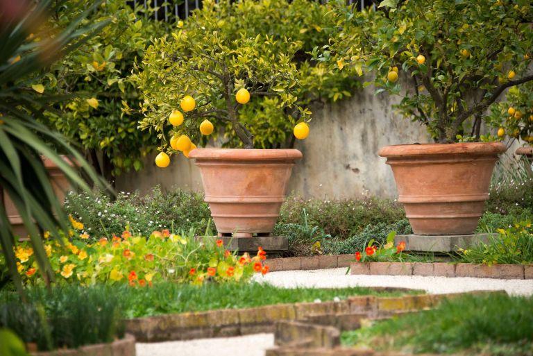 lemon trees in pots