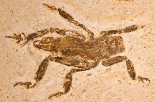 remains of ancient splay-footed cricket