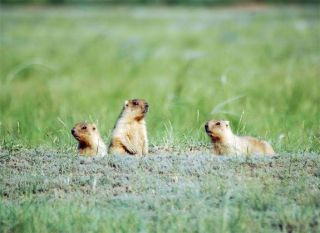The distressed screams of marmots, like these, shares characteristics with music that can arouse its human listeners, a study indicates.