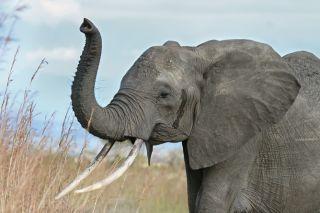 elephants, ivory, tusks, poaching