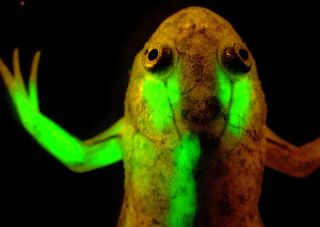 nih, national institutes of health, glowing protein, gfp, green fluorescent protein, fluorescent labeling techniques, jellyfish protein,