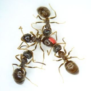 Three ants surround one ant with a red marker.