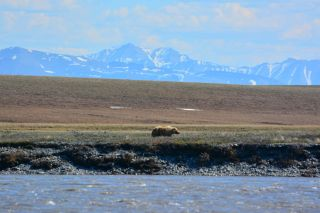 Grizzly bear in ANWR, arctic national wildlife refuge