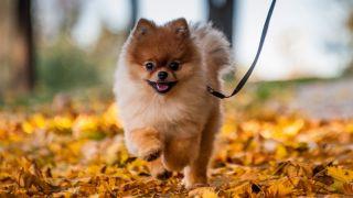 Facts about pomeranians: Pomeranian walking