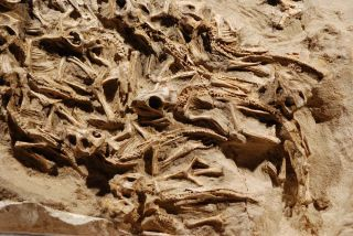 fossilized remains of Protoceratops dinosaur infants in a nest