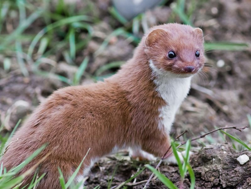 Facts About Weasels Live Science