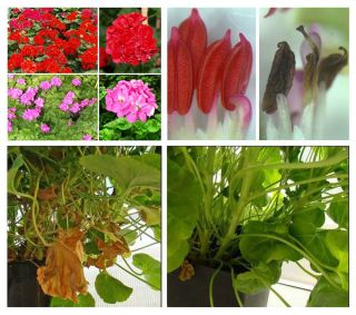 Genetically engineered geraniums.