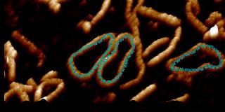 A visualization of a DNA minicircle.