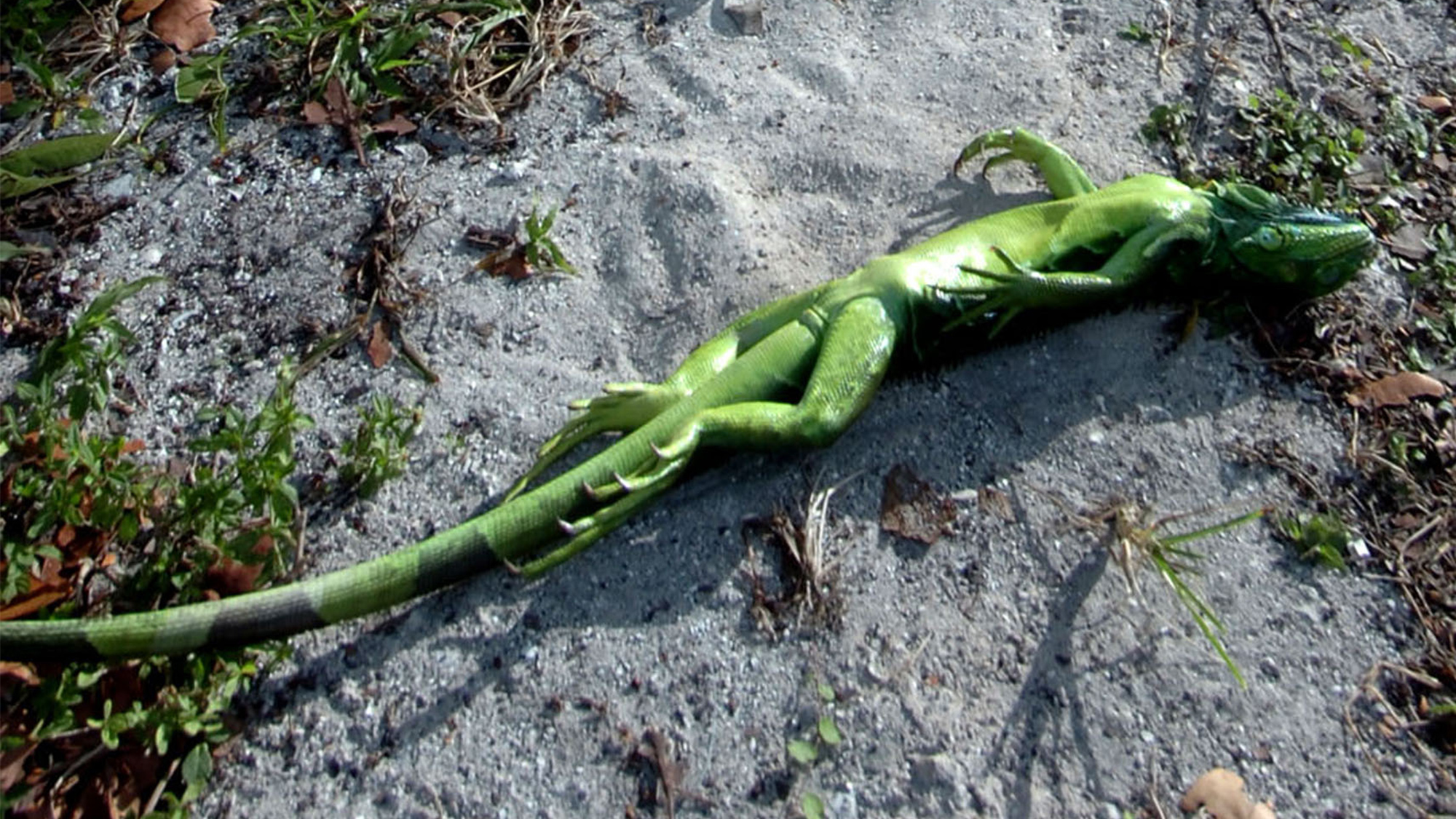 A cold-stunned iguana lies belly-up in Key Biscayne, Florida, during an unusual cold snap in 2008.