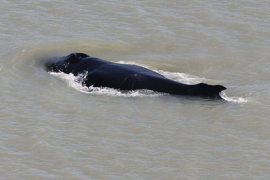 Lost humpback whale abandoned by friends in croc-infested river in Australia