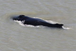 The large humpback is swimming roughly 20 miles upriver in croc-filled waters