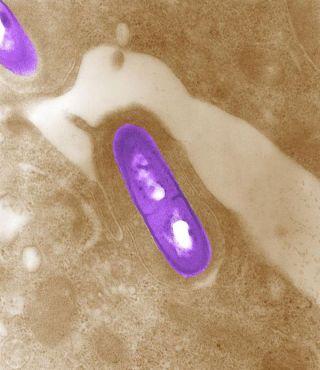 Listeria bacterium