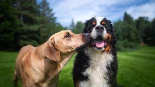Quietest dog breeds: Bernese Mountain dog outside in the park being sniffed on the side of the face by brown dog