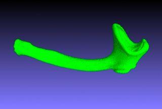 3D scan of a honey badger's baculum.
