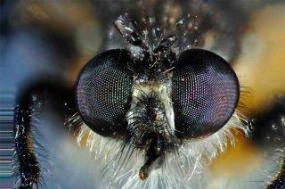 close-up of robber fly eyes