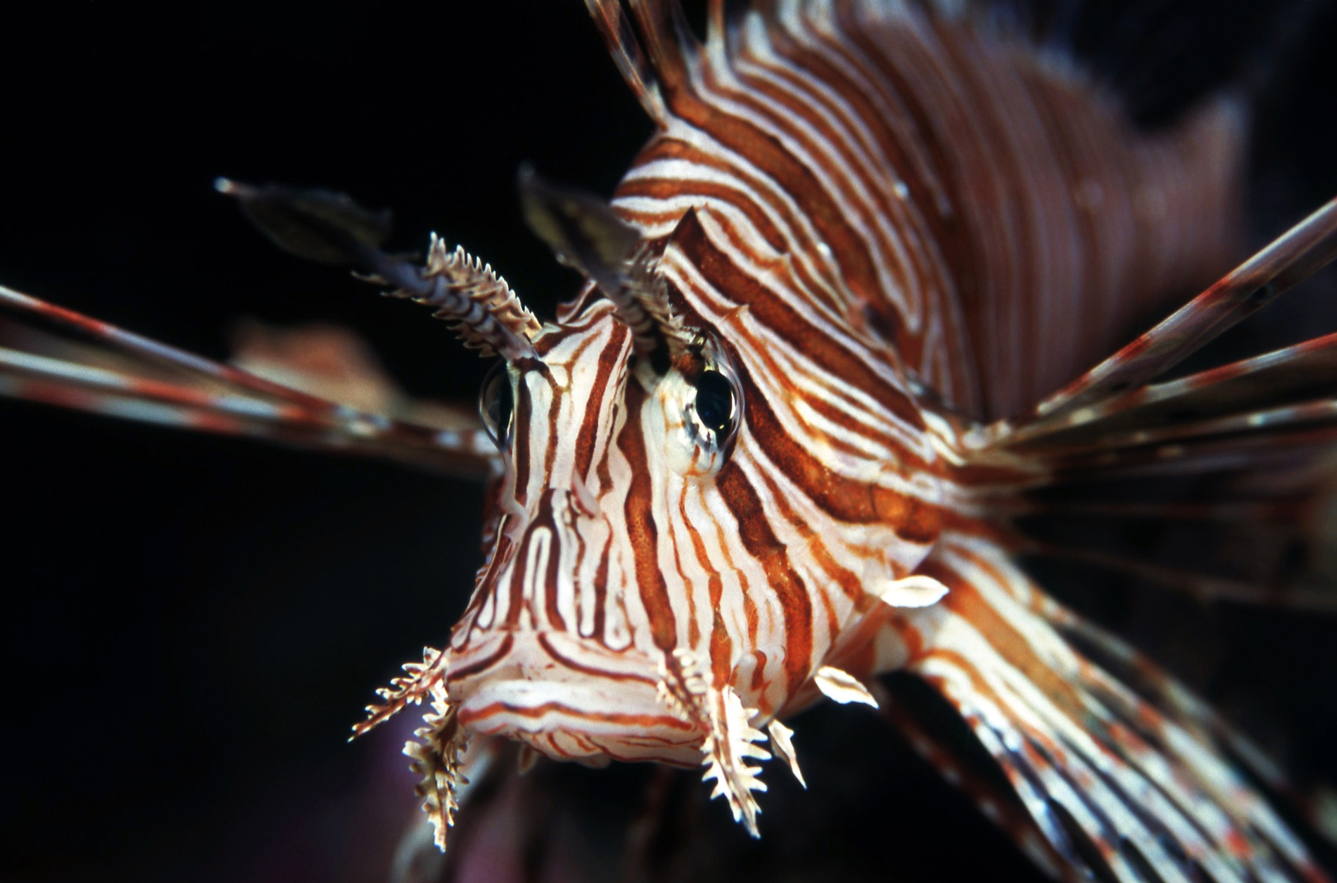 The Voracious and Invasive Lionfish Is Taking Over the
