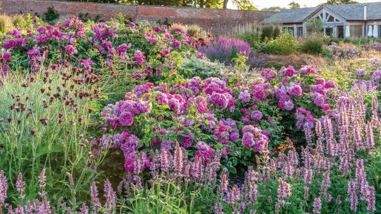 how to grow roses: 'Princess Anne' David Austin Roses