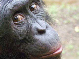 Male bonobo making economic decisions